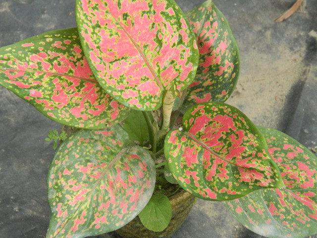 aglaonema varieties list