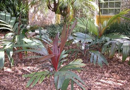RED ARECA PALM