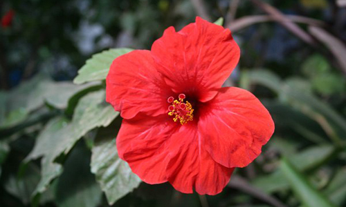 Indian Nursery China Rose Or Shoe Flower Exporter And Supplier In