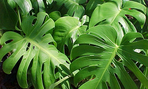 Kenzie Piante : Indian nursery monstera exporter seller and supplier in