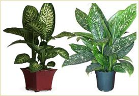 Indian Nursery Indoor Plants Chlorophytum Cissus Antarctica Codiaeum Coleus Dieffenbachia