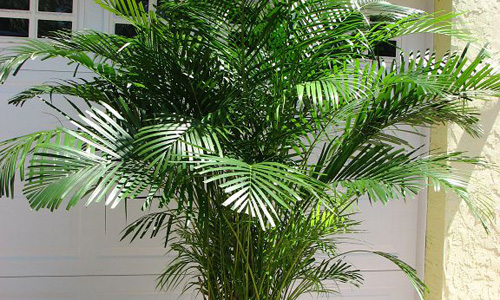 Indian Nursery Areca Palm Exporter Seller And Supplier In Hooghly