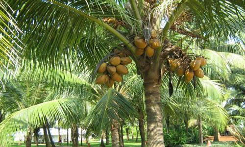 Indian Nursery Narikel Or Coconut Plants Exporter And