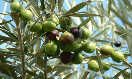 Indian Nursery - Olive or Jalpai Plants Exporter and