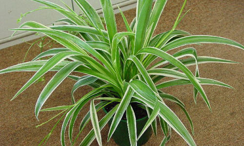 Indian Nursery - Chlorophytum or Spider Plant Exporter and Supplier