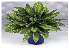 Indian Nursery Indoor Plants Aglaonema Anthurium Aphelandra Araucaria Aspidistra Begonia Caladium Calathea Ceropegia Woodii Exporter And Supplier In Hooghly India