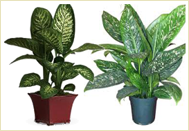 Indian Nursery - Chlorophytum or Spider Plant Exporter and Supplier